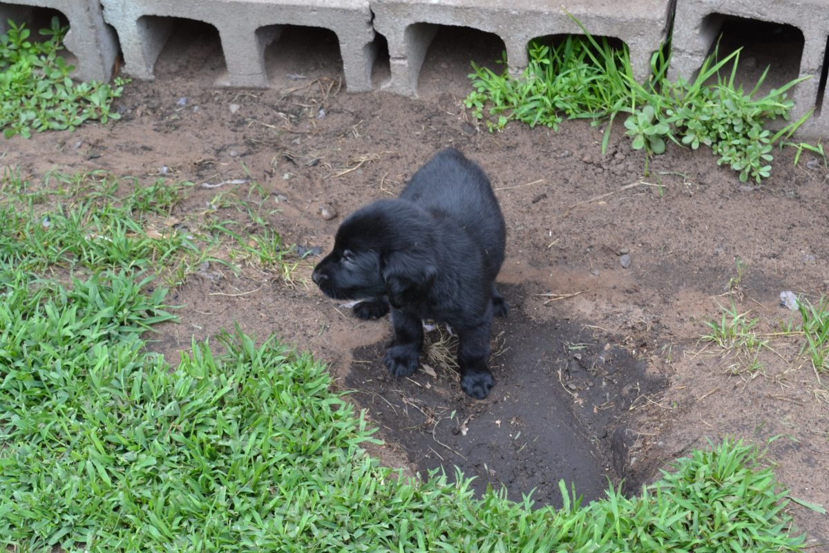 Flat Coated Retriever Puppies